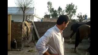 horses in bewal gujarkhan