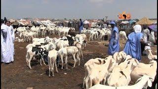 Le360.ma • Mauritanie: Aïd el-Kébir, des moutons pour toutes les bourses