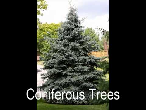 the difference between deciduous and coniferous trees Learn about deciduous and evergreen trees for kids updated on october 8, 2014 joanca more trees can either be deciduous or evergreen how can you tell the difference deciduous trees trees that have leaves that turn red, brown or yellow in the  are called deciduous trees new leaves grow in the spring trees with big.