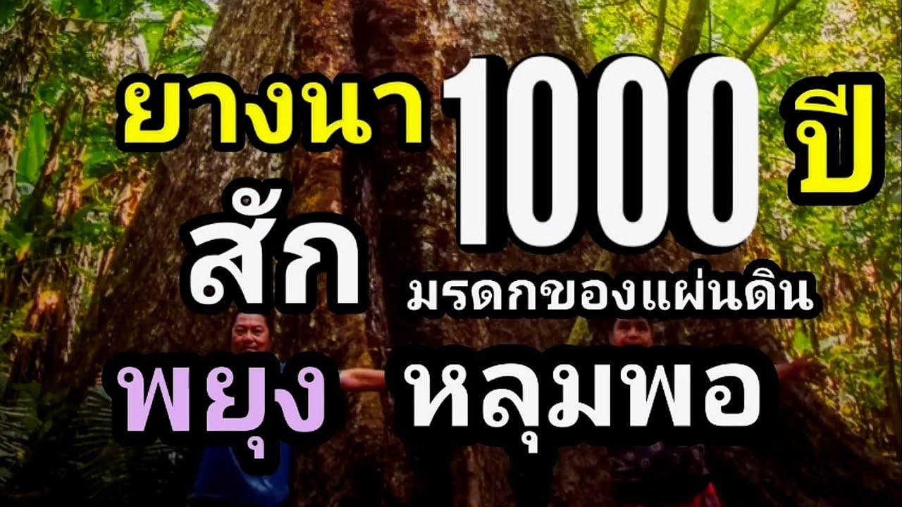 ยางนา1000ปี รวมต้นไม้เก่าแก่ไม้โบราณอายุยืนของไทยที่หาชมยาก
