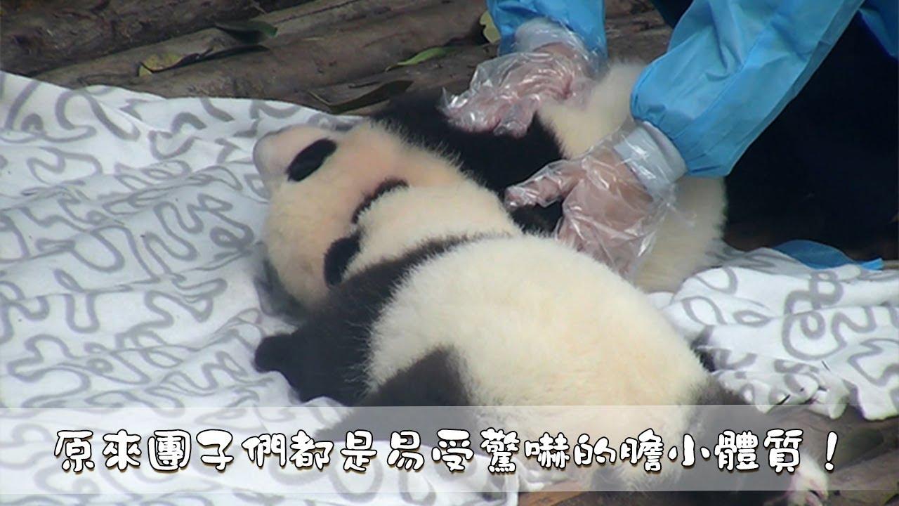 《熊貓早晚安》原來團子們都是易受驚嚇的膽小體質!  iPanda - YouTube