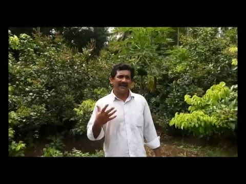 Rambutan innovative farming near athirappilly