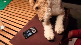 "My lovely Wire Fox Terrier "" Bismarck-Musashi"" ;-) ワイヤーフォック..."