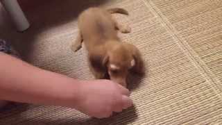 Baby miniature dachshund that repeated practice of face down and Si...