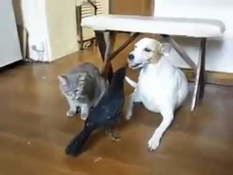 A Crow feeding to a Cat and Dog Funny video