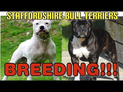 DOGS | STAFFORDSHIRE BULL TERRIERS BREEDING!