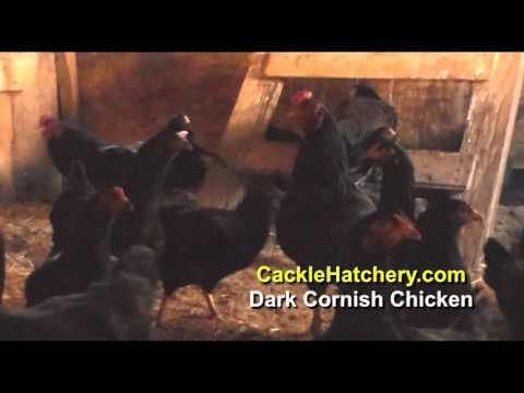 Dark Cornish Chicken Breed (Breeder Flock)