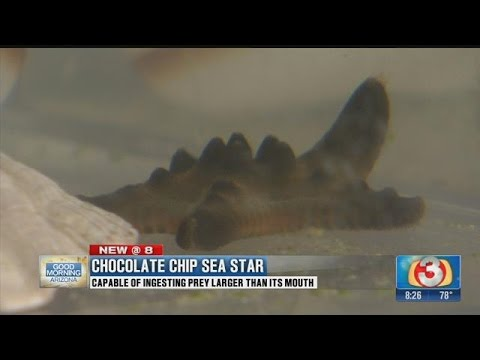 Chocolate Chip Of The Sea