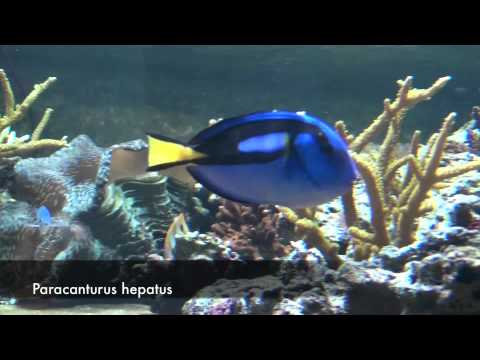 Poissons tropicaux 1 youtube for Poisson tropicaux