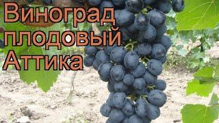 Виноград плодовый Аттика (vitis attika) 🌿 виноград Аттика обзор: как сажать рассада винограда Аттика