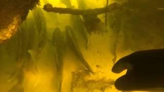 подводная охота на судака  с камерой(Река Сож, 23 октября 2014. Глубина до 3м На этом участке реки дней 10 назад, было 2 судака. На видео видно сколько..., 2014-12-08T20:31:24.000Z)