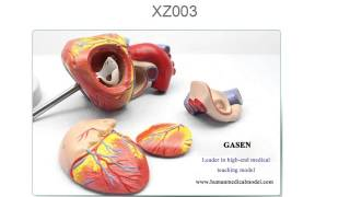 GENUINE ENLARGED VERSION ANATOMICAL TEACHING MODEL THE HUMAN HEART MODEL GASEN XZ003