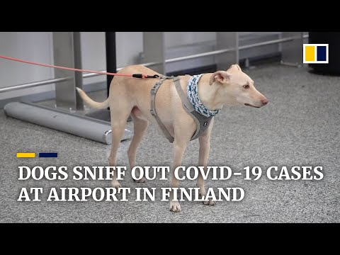Finland's coronavirus-sniffing dogs find Covid-19 carriers at airport with 'nearly 100% accuracy'