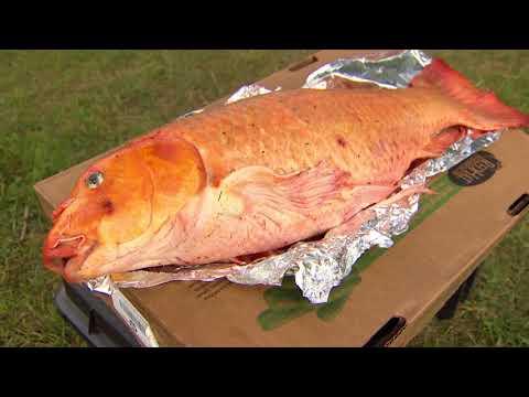 Giant koi fish caught in Alberta pond