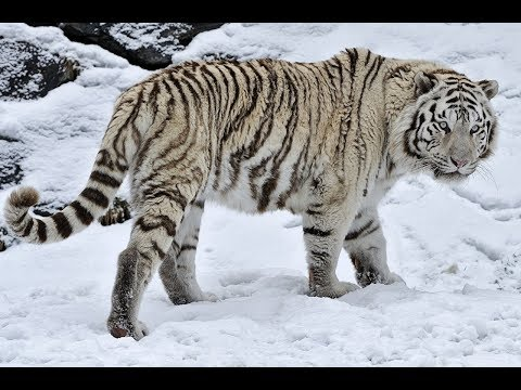 siberian tigers eating  live chickens in  open tiger park