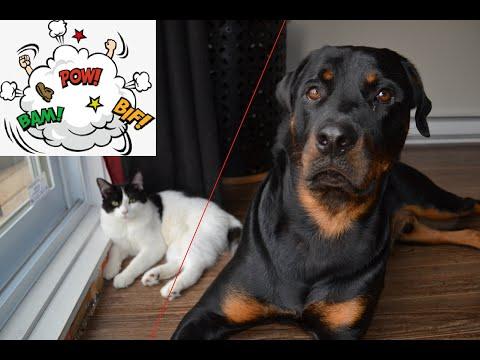 Rottweiler VS cat. Who will attack ?