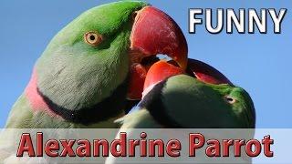 Funny Alexandrine Parrot Laughing and Speaking in Urdu/Hindi