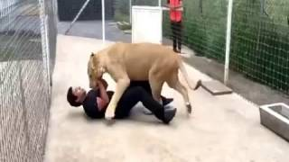 Lion Attacks Man in Zoo
