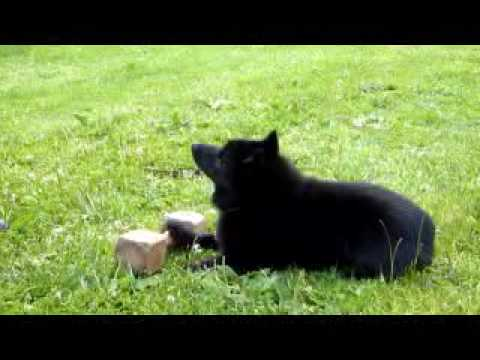 Schutzhund Schipperke in Training Part 1
