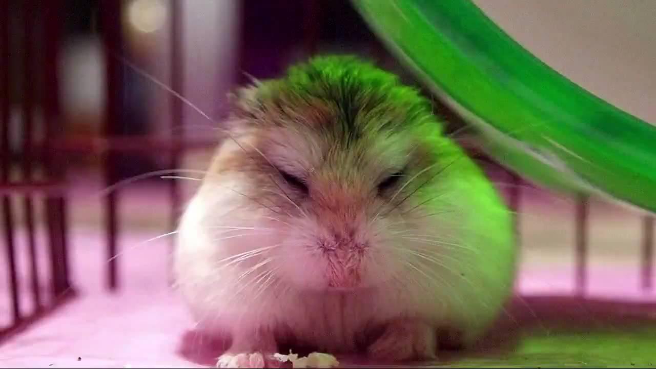 Roborovski Hamster Yawn - YouTube