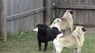 Pugs Barking At Nothing