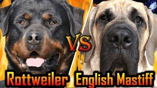 Rottweiler vs English Mastiff | English Mastiff vs Rottweiler | Best Family guard dog |Billa Boyka|