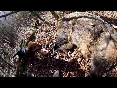 Wild boar shots 2017 Greece