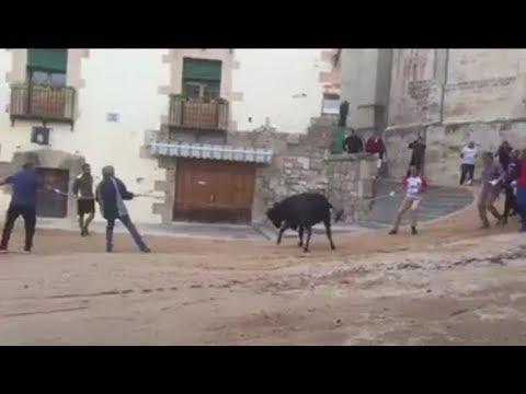 Una vaquilla enmaronada grita de dolor al intentar huir de las fiestas de San Mateo (Cuenca)
