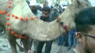 camel qurbani in bufferzone 2011