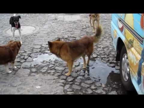 Dogs in Antigua, Guatemala