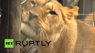 Russia: Lioness found on Moscow-bound train finally finds a home