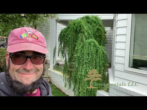 Pruning a Larix decidua 'Pendula' Weeping Larch in Connecticut