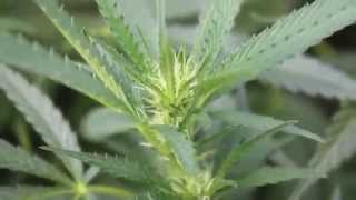 """How to grow """"Mendo Dope"""" from Seed - Part 4 (BLOOM)"""