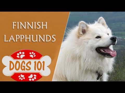 Dogs 101 - Finnish Lapphunds - Top Dog Facts About the Finnish Lapphunds