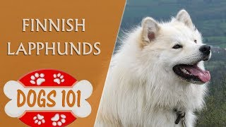 Dogs 101  Finnish Lapphunds  Top Dog Facts About the Finnish Lapphunds