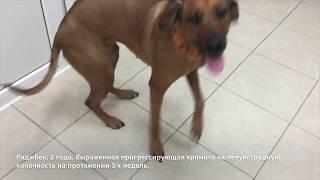 Органосохранная хирургия при остеосаркоме  у собаки с замещением дефекта 3D эндопротезом