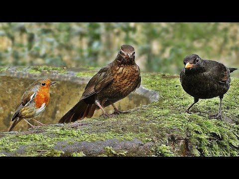 Sounds for Dogs : Dog TV - Birds in The Woods