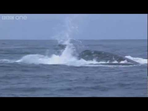 Humpback whales' attempt to stop killer whale attack - Planet Earth Live - BBC One