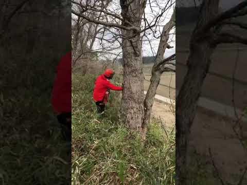 道路際のナラの伐倒作業