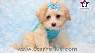Too Cute! Teacup Maltipoo Puppy Golden Heart By Staryorkie.com