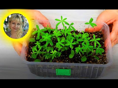 ЛЮПИН. Посев семян на рассаду