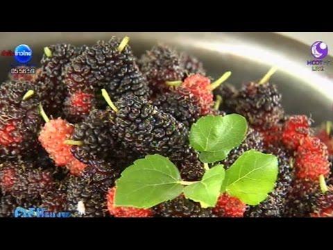 เกษตรสร้างชาติ : มัลเบอร์รี่ ผลไม้เพื่อสุขภาพ แหล่งเงินแสน