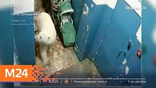 Белые медведи ушли от поселка на Новой Земле - Москва 24