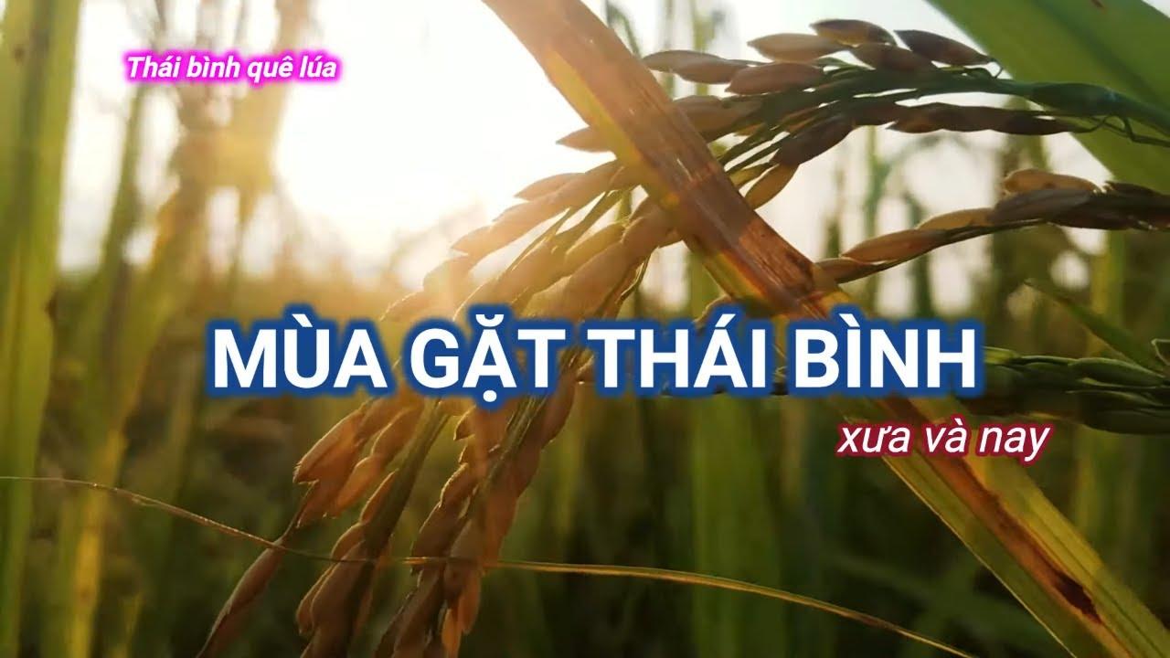 Mùa gặt quê lúa Thái bình xưa và nay
