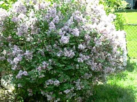 Dwarf Korean Lilac Youtube