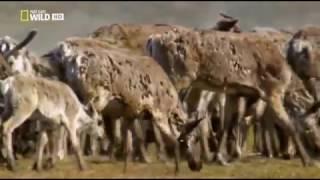 Дикая природа Аляски (Северный олень)