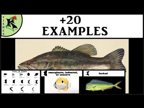 Tails Of Fishes - Rounded, Square, Etc. - Great, Easy Info! Fish Smarter   Koaw Nature