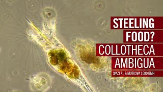 Steeling food? Collotheca ambigua   by Motic Europe YouTube Videos