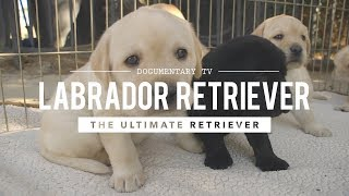 ALL ABOUT LABRADOR RETRIEVERS: WORLD'S #1 RETRIEVER