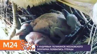 Смотреть видео У кудрявых пеликанов Московского зоопарка появились птенцы - Москва 24 онлайн